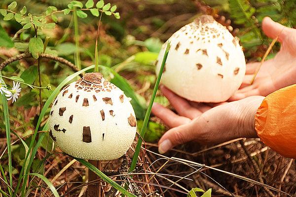 高大环柄菇