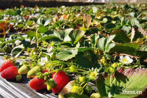 发芽的草莓